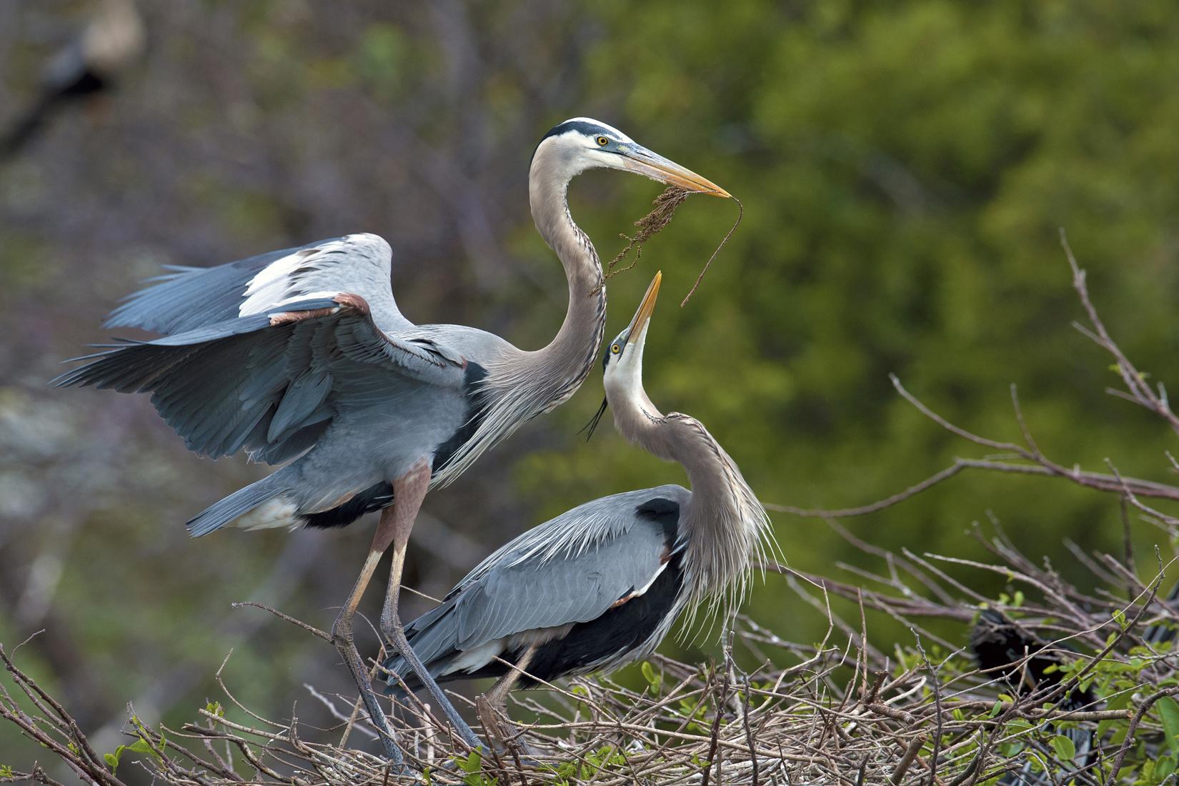 110 Courtship Great Blue Heron Fine Art Am LoRes