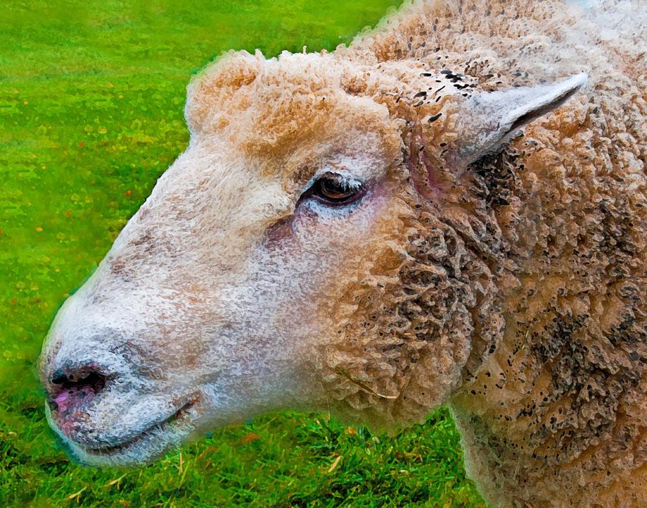 343 Sheep 20x16 Fine Art Am